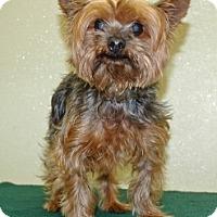 Adopt A Pet :: Joey - Port Washington, NY
