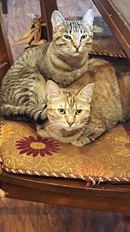 Domestic Shorthair Cat for adoption in Mission Viejo, California - Amber and Blue