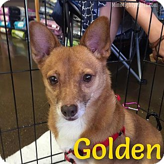 Schipperke/Chihuahua Mix Dog for adoption in Phoenix, Arizona - Golden