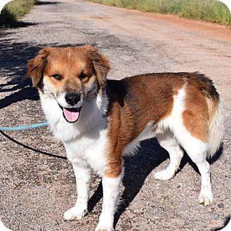 Husky/Corgi Mix Dog for adoption in Sierra Vista, Arizona - Cesar