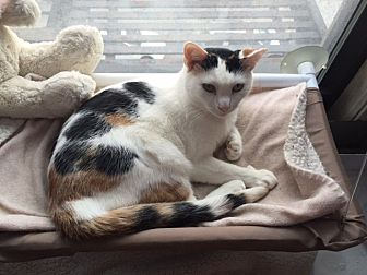 Calico Cat for adoption in New  York City, New York - Baby