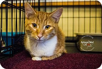 Domestic Shorthair Kitten for adoption in Charlotte, North Carolina - A..  Octavius
