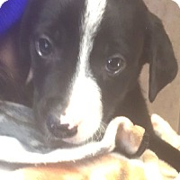 Adopt A Pet :: Cosmo - Medora, IN