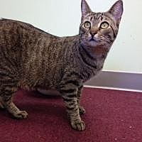Domestic Shorthair Cat for adoption in Hudson, Florida - Brooke