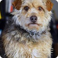 Adopt A Pet :: Alfie - Vacaville, CA