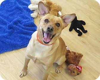Labrador Retriever/Norwegian Buhund Mix Dog for adoption in High Point, North Carolina - Binx