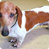 Adopt A Pet :: Lacey - Andalusia, PA