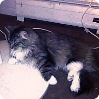 Adopt A Pet :: Fatso Cat - Courtesy Listing - Rootstown, OH