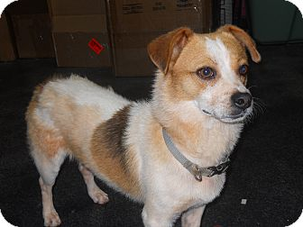 Jack Russell Terrier/Dachshund Mix Dog for adoption in Conyers, Georgia - Buck