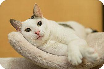 Domestic Shorthair Cat for adoption in Miami, Florida - Neury