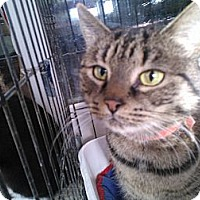 Domestic Shorthair Cat for adoption in East Stroudsburg, Pennsylvania - Kirby