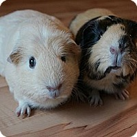 Adopt A Pet :: Cora & Betsy - Brooklyn Park, MN