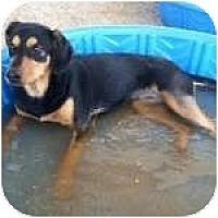 Adopt A Pet :: VINNIE - Gilbert, AZ