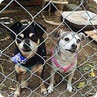 Adopt A Pet :: ANIKAN - Chatsworth, CA