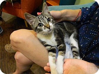 Domestic Shorthair Cat for adoption in The Colony, Texas - Jamie
