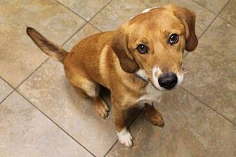 Cattle Dog Mix Dog for adoption in Nixa, Missouri - Q # 839