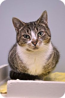 Domestic Shorthair Cat for adoption in Byron Center, Michigan - Mouse