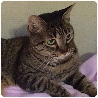 Domestic Shorthair Cat for adoption in Hamilton, New Jersey - CLARA