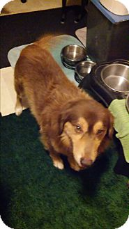 Collie Mix Dog for adoption in Hainesville, Illinois - Dandy