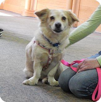 Corgi/Golden Retriever Mix Dog for adoption in Fort Atkinson, Wisconsin - Sierra