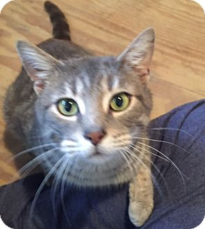 Domestic Shorthair Cat for adoption in Elyria, Ohio - Gilly