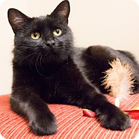 Adopt A Pet :: Black Pearl - Chicago, IL