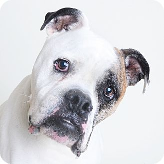 Mixed Breed (Large)/American Bulldog Mix Dog for adoption in Wilmington, Delaware - Baxter