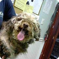 Adopt A Pet :: MESSI - Atlanta, GA