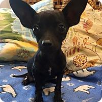Adopt A Pet :: Franklin (BH) - Santa Ana, CA