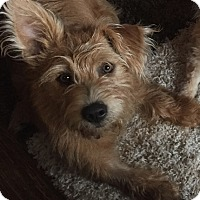 Schnauzer (Standard)/Terrier (Unknown Type, Medium) Mix Dog for adoption in Coppell, Texas - Mugsy