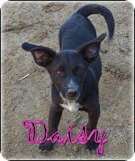 Border Collie/Corgi Mix Puppy for adoption in Bakersfield, California - Daisy