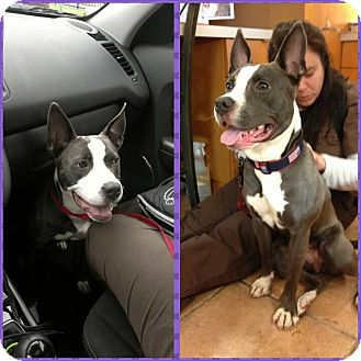 Pit Bull Terrier Mix Puppy for adoption in bridgeport, Connecticut - Lil Mama