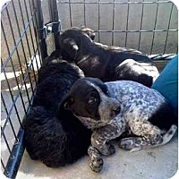 Adopt A Pet :: Puppies - YERINGTON, NV