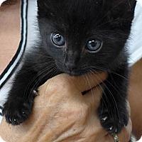 Adopt A Pet :: Midnight - Lighthouse Point, FL