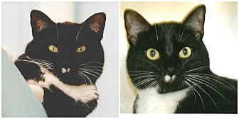 Domestic Shorthair Cat for adoption in Forked River, New Jersey - Oreo