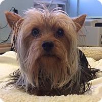 Adopt A Pet :: Patrick - New York, NY