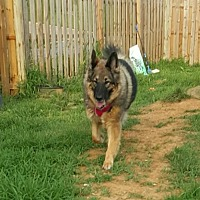 Adopt A Pet :: Roxie 2015 - Morrisville, NC
