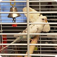 Adopt A Pet :: Felix - Lenexa, KS