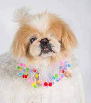 Pekingese Dog for adoption in St. Louis Park, Minnesota - Mooshu