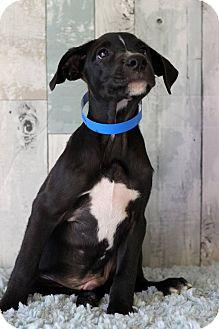 Boxer/Labrador Retriever Mix Puppy for adoption in Waldorf, Maryland - Marty