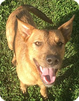 Airedale Terrier Mix Dog for adoption in Havelock, North Carolina - Kratos