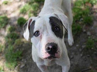 Pit Bull Terrier/American Bulldog Mix Dog for adoption in Atlanta, Georgia - WILMA