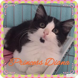 Domestic Mediumhair Kitten for adoption in Enid, Oklahoma - Princess Diana