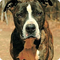 American Bulldog/Pit Bull Terrier Mix Dog for adoption in Greenville, South Carolina - Butch