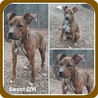 Boxer/Pit Bull Terrier Mix Puppy for adoption in Malvern, Arkansas - SWEET GIRL
