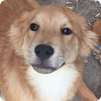 Adopt A Pet :: S'more - Evergreen, CO