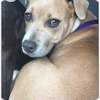 Adopt A Pet :: Jodi - Austin, TX