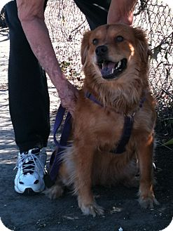 Chow Chow/Retriever (Unknown Type) Mix Dog for adoption in Yuba City, California - Shyla