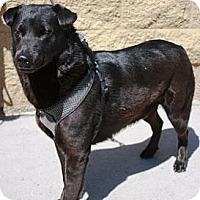 Adopt A Pet :: Midnight - Gilbert, AZ