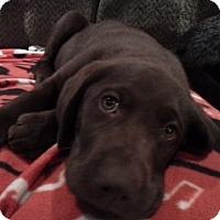 Adopt A Pet :: Bates Pup - White River Junction, VT
